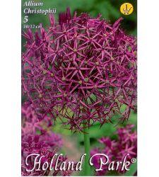 Bulbi de ceapa decorativa Allium christophii (5 bulbi), Holland Park