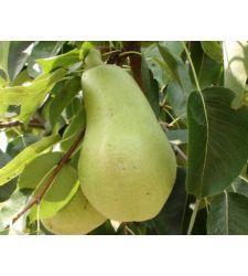 Par Cure, Ciumbrud Plant