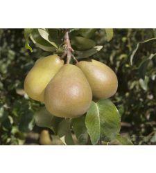 Par Untoasa Hardy (Beurre Hardy), Ciumbrud Plant