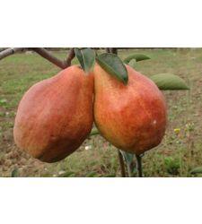Par Williams rosu, Ciumbrud Plant