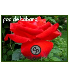 Trandafir floribunda Foc de tabara, Ciumbrud Plant