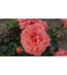 Trandafir floribunda Kimono, Ciumbrud Plant