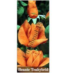 Trandafir teahibrid Beaute, Ciumbrud Plant