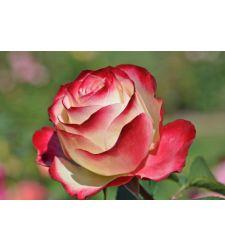 Trandafir teahibrid Double Delight, Ciumbrud Plant