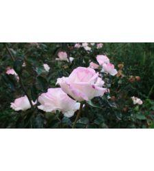 Trandafir teahibrid Elle, Ciumbrud Plant