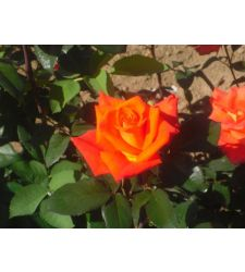 Trandafir teahibrid Monika, Ciumbrud Plant