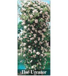 Trandafir urcator Ilse Kron Superior, Ciumbrud Plant