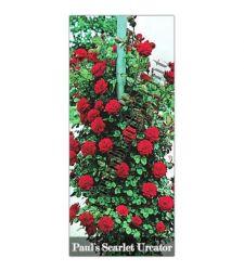 Trandafir urcator Paul's Scarlet, Ciumbrud Plant