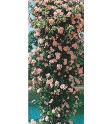 Trandafir urcator Roz, Ciumbrud Plant