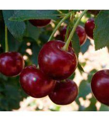 Visin Mocanesti, Ciumbrud Plant